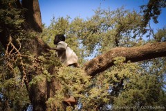 Boy in Acacia tree searching for good seed