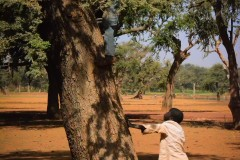 Boys climbing in Acacia tree to search for seeds