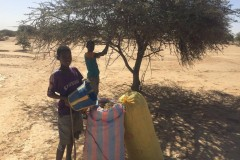Harvest of seed Acacia Senegal in Areel 2